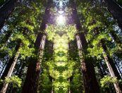 Redwood_Sanctuary-sm11