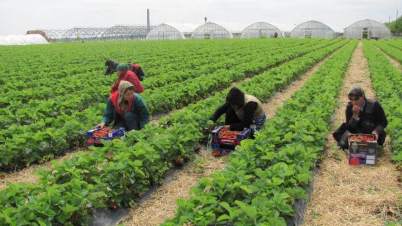 900 de locuri de muncă în domeniul agricol (recoltare fructe) în Spania