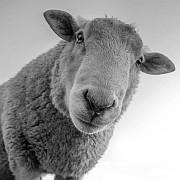 """""""Autorität und Askese"""" Macht die Pandemie Schafe aus uns allen? Von Michael Reitz"""