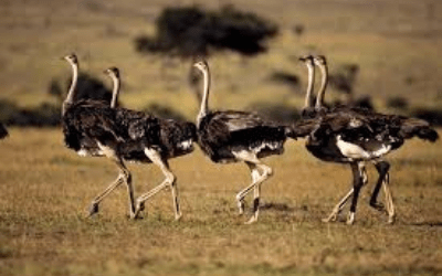 All About Ostriches On Radio Islam