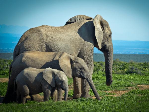 elefante-familia