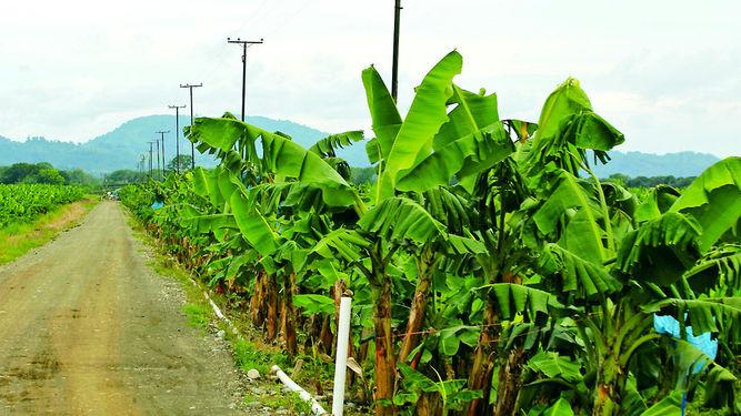 Informe: Empresas bananeras, vulneración de derechos humanos - extrabajadores-Coosemupar-reactivar-siembra-Baru_LPRIMA20150416_0046_24
