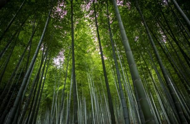 Se estima que el cambio climático podría eliminar en los próximos 80 años más del 35% de los bosques de bambú AFP/Archivos / Johannes Eisele