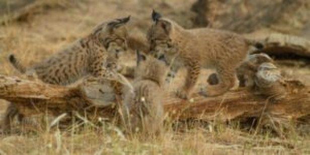La tasa de supervivencia de los linces nacidos en cautividad es del 75 % - th_1cce678baa2865fe866ba90e481edd63_linces-camada-2014-foto-programa-Lynx-ex-situ-300x150