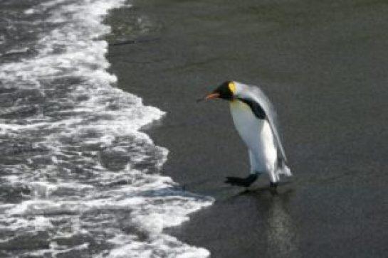 El pingüino rey, confrontado al exilio o la muerte por el cambio climático - 1b1cf69ac697d107b01aa4d6b7e405f7eb34a687-300x200