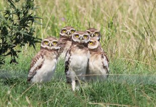 """""""De las aves que vuelan la que más me gusta es el chancho""""… ¿qué sabemos de nuestra fauna autóctona?"""