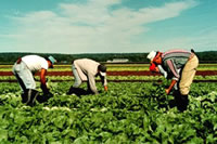 Fieldworkers harvesting lettuce on the East Coast of the U.S. Source: newpaltz.edu/migrant/