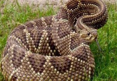 Como saber si una serpiente es venenosa. (Fotos + Diferencias).