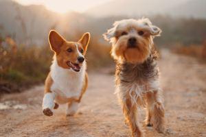 Deux chiens qui courent