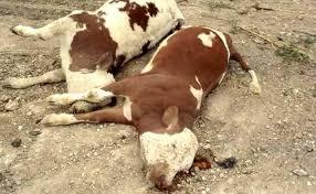 صورة مفتشية البيطرة: تواصل حملية التلقيح ضد الحمى القلاعية