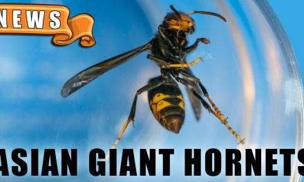 Murder Hornets Invade the US?