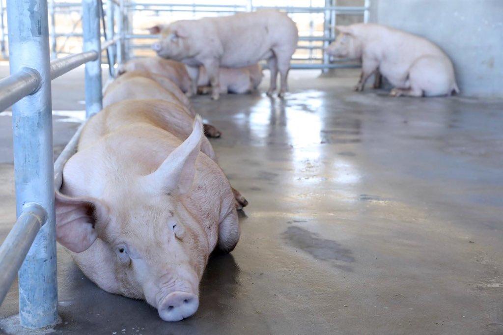 Inauguran rastro porcino en San Juan Opico
