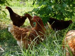 Roaming chickens