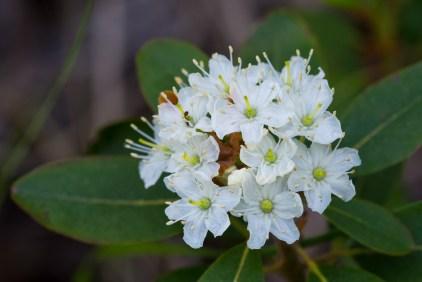 Labrador Tea (Ledum glandulosum)