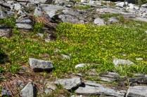 Carpets of glacier lilies