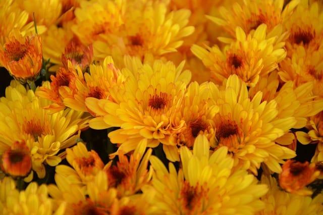 Fall Is in Bloom at the Longwood Gardens Chrysanthemum Festival