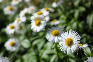 mountain flowers white