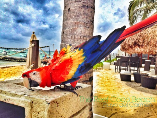 The Reef Coco Beach, Playa del Carmen, Mexico //  Parrot
