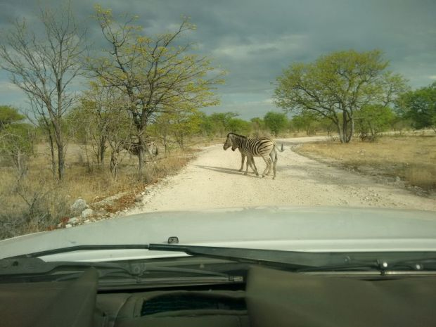 Safari in Namibia: zebre all'Etosha National Park