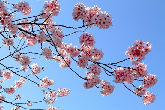 Cherry blossom trees in bloom at the South Coast Botanic Garden in Palos Verdes. (Photo by Julie Wennstrom)
