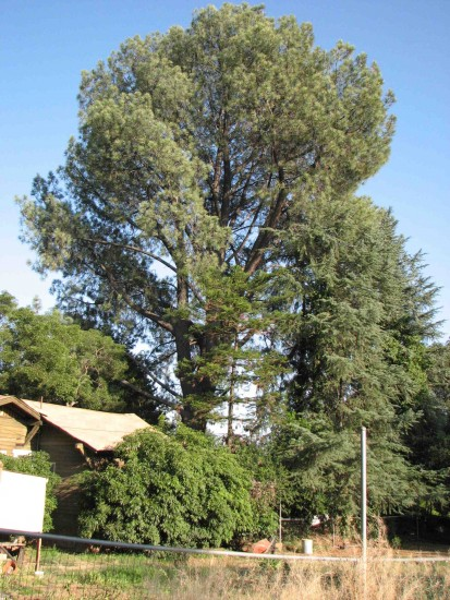 The 120-foot-tall, 86-year-old Torrey pine as seen from behind the Yuge house.