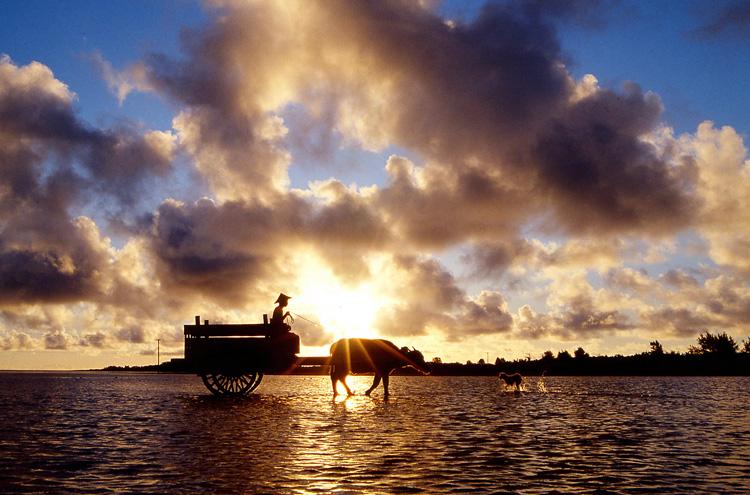 八重山の風物詩である、由布島へ海を渡る水牛車