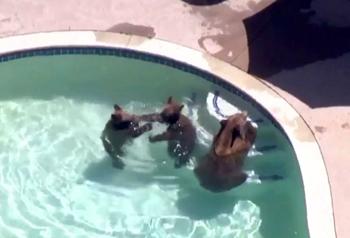 パサデナの住民宅のプールでくつろぐ熊の親子3匹=1日(地元テレビ局が上空より撮影)