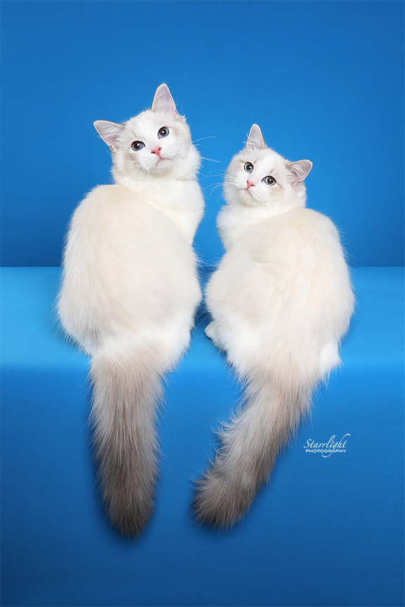 News Ragdoll Kittens For Sale In Ca Creekcats Ragdolls