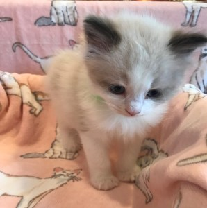 News – Ragdoll Kittens for Sale in CA – CreekCats Ragdolls