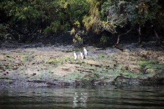 Gorfous du Fiordland
