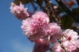 Whitianga – Cerisier du Japon