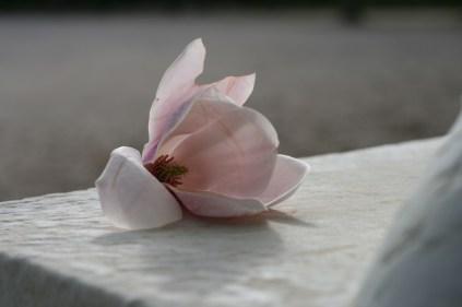 Fleur de magnolia déposée au pied du centaure Furletti