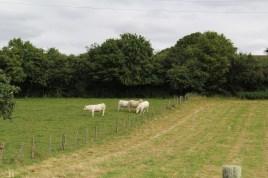 Vaches dans leur pré