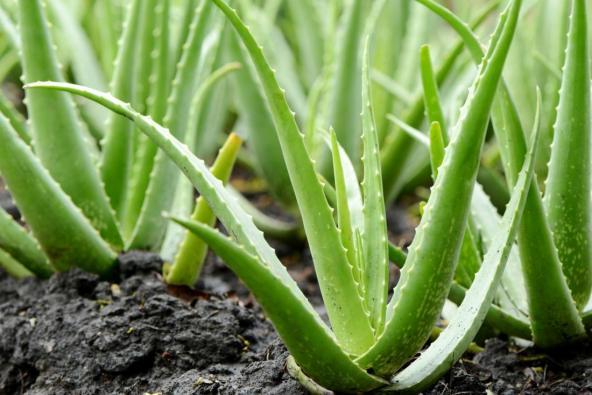 Gel aloe vera sangat bagus untuk merawat kegatalan, menyembuhkan luka dan membantu hilangkan kesan gigitan nyamuk.
