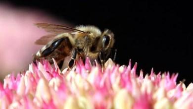 صورة ملكة النحل