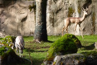 Speke's gazelle and gerenuk