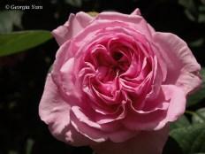 pink full bloom rose