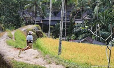 Rice paddies at the valley of Gunung Kawi.