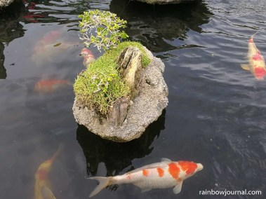 Koi fish at the miniature Hundred Islands Koi and Bonsai Garden