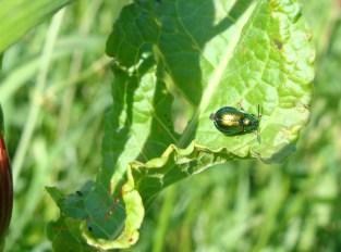 Grüner Erlenblattkäfer