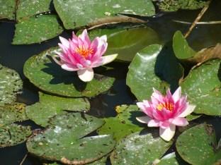 Seerosen auf unserem Teich