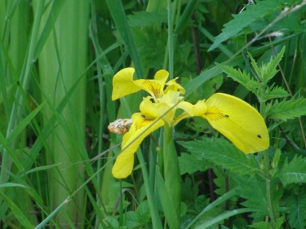 ...und eine letzte Iris blüht noch... :)