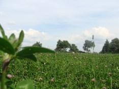 Überall auf der Wiese blüht der Klee...