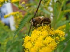 Die Goldrute ist ein Magnet für eine Vielfalt von Insekten. Ich mag ihren Duft nicht so gerne...