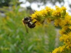 Diese Hummel oder Biene war ziemlich klein, nur einige Milimeter groß...