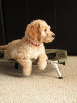 A goldendoodle puppy enjoying his dog cot