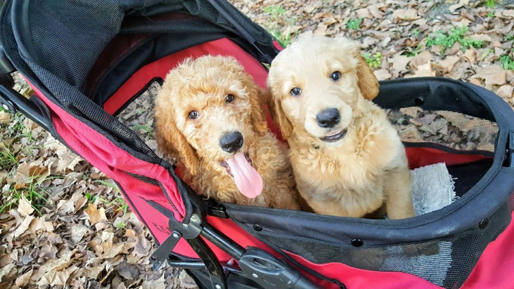 coats types - F1b goldendoodle puppy next to an F1 doodle puppy