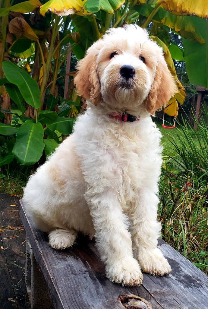 Female Goldendoodle Puppy Available