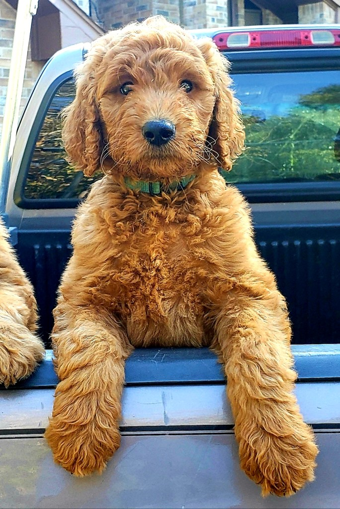 Available Goldendoodle Puppies – Houston