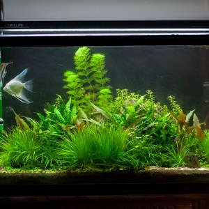 29 Gallon Freshwater Planted Angelfish Aquarium